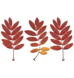 Real autumn rowan leaves set from 3 red-yellow vector