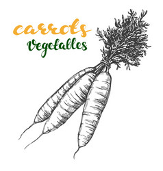 carrots vegetable set hand drawn vector image vector image