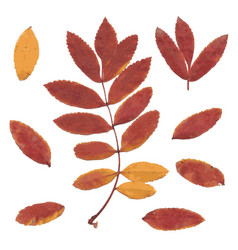 Real autumn rowan leaves set from red-yellow vector