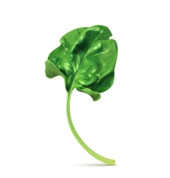 Fresh green leaf spinach vector