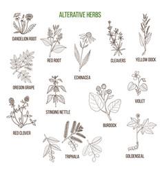 Alterative herbs hand drawn set of medicinal vector