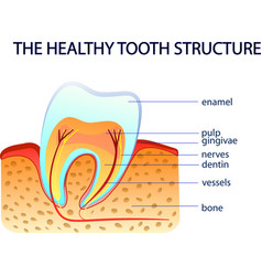 healthy tooth structure vector image