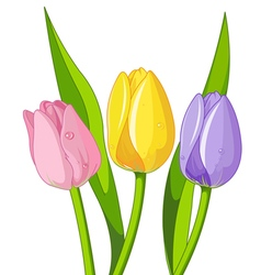 Bouquet of tulips vector