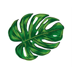hand drawn monstera deliciosa tropical leaf vector image vector image