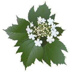 White viburnum flowers with leaves and buds vector
