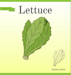 salad lettuce series of vegetables and vector image vector image