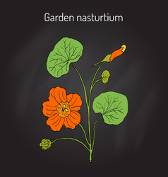 Garden nasturtium tropaeolum majus or indian or vector