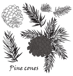 Fir tree branches with pine cone on white vector image