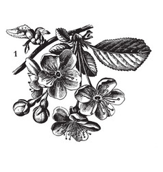 Flowers shade in the petal vintage engraving vector