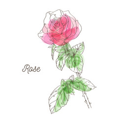 Beautiful pink rose on white background vector