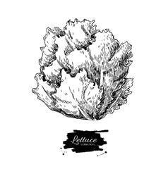 Lettuce hand drawn Vegetable engraved vector image vector image