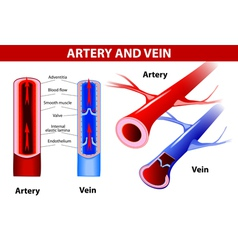 Artery and vein vector