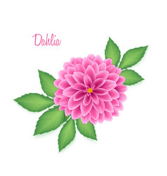 Isolated realistic dahlia flower with green leaves vector