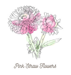 pink straw flowers on white background vector image vector image