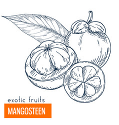 Mangosteen hand drawn vector