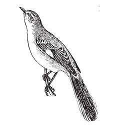 Mockingbird vintage vector