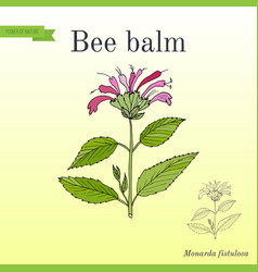 Wild bergamot or bee balm aromatic and medicinal vector