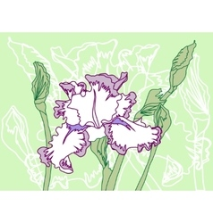 White violet iris on the green background vector