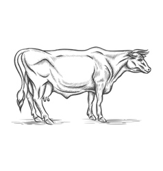 Engraving cow hand drawn vector image