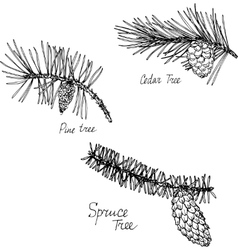 Hand drawn branches of conifers vector