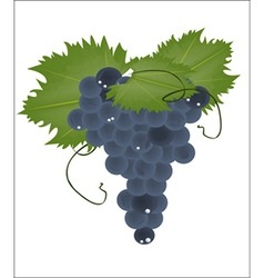 realistic grapes on a white background vector image vector image