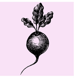 beetroot with leaves vector image vector image