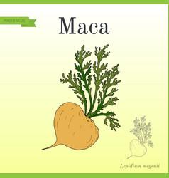 Maca lepidium meyenii peruvian superfood vector