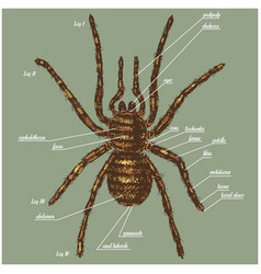 A spider anatomy include all name vector