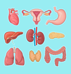 Human internal organs heart female reproductive vector