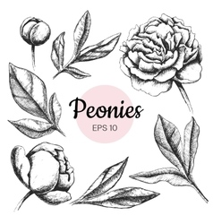 Set of ink peony flowers and leaves vector