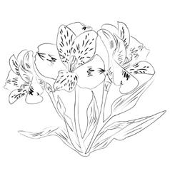 ink sketch alstroemeria flower vector image vector image