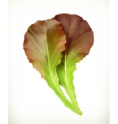 Lettuce leaves vector