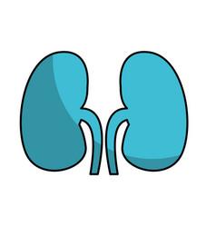 Human organ kidneys icon vector