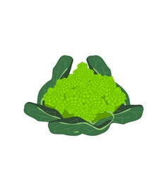 Fresh romanesco broccoli cabbage on white vector