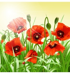 Red poppies in grass vector image