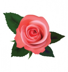 tea rose vector image