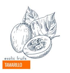 tamarillo hand drawn vector image vector image