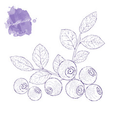 ripe blueberries on a branch with leaves hand vector image