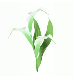 Calla lily white flowers and leaves herbaceous vector