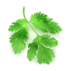 Fresh green leaves coriander vector