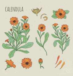 calendula medical botanical isolated vector image vector image
