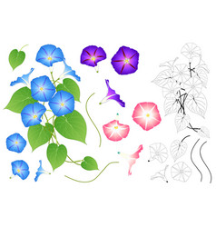 blue pink and purple morning glory outline vector image vector image