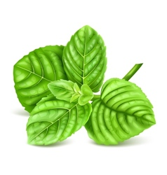 Fresh green mint vector image