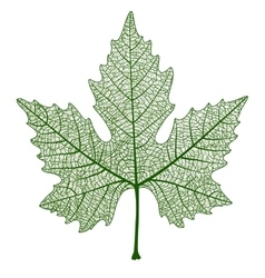 Maple leaf isolated vector