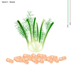 Fresh fennel bulb with vitamin c and minerals vector