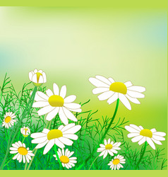 A glade of chamomile vector