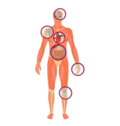 Structure of human body - a look through the vector image vector image