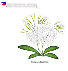 Sampaguita jasmine national flower of philippines vector