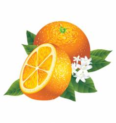 oranges vector image vector image