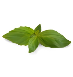 Fresh Sweet Basil vector image